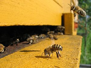 A honeybee on an apiary, spreading feromones t...