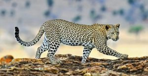 leopard with spots
