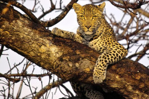 A leopard, waiting to pounce on the Unwary?